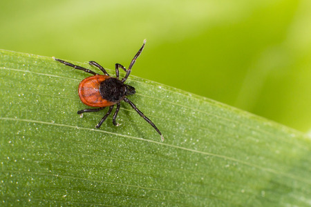 Foto de castor bean tick, Ixodes ricinus - Imagen libre de derechos