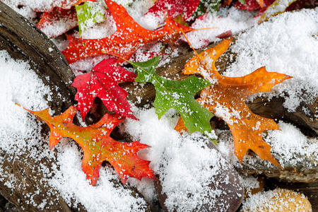 Photo pour Bright autumn leaves covered with snow on aged driftwood and rocks - image libre de droit