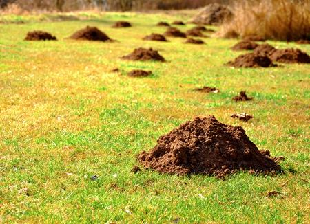 Photo pour close up of many molehills on the grass - image libre de droit