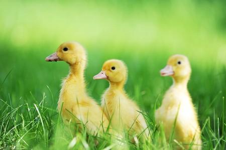 three fluffy chicks walks  in green grass