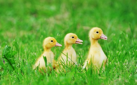 Small ducklings outdoor on green grass