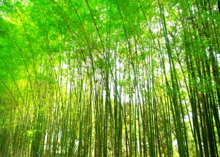 green bamboo forest, backgro mural
