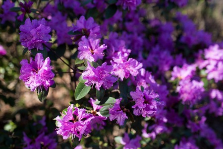 Photo pour Purple azalea flower blossoms or rhododendron tree all over the field, background - image libre de droit