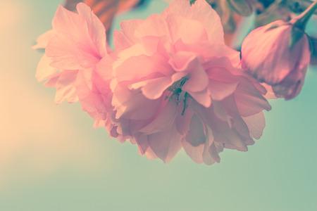 Sakura flower cherry blossom. Greeting card background. Vintage soft toned effect