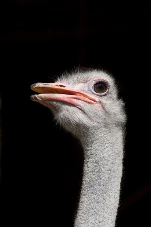 An ostrich against a black background