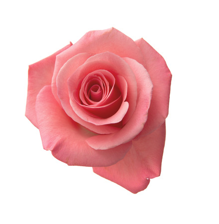 Photo pour gentle pink rose isolated on white background - image libre de droit