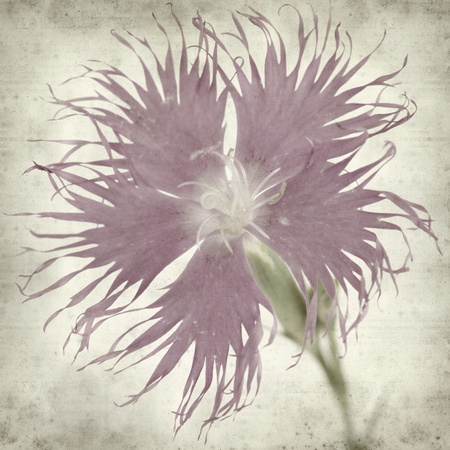 Photo pour textured old paper background with pink  hyssop-leaved carnation - image libre de droit