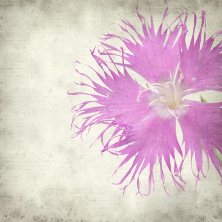 Foto de textured old paper background with pink  hyssop-leaved carnation - Imagen libre de derechos