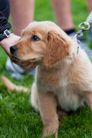 A golden retriever puppy sits in the grass of a park while a stranger pets under its chin.