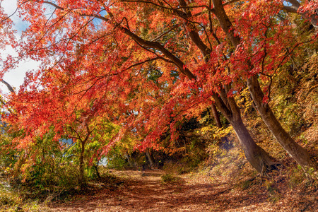 Foto de Red fall foliage in autumn near Fujikawaguchiko, Yamanashi. A tree in Japan with blue sky background. - Imagen libre de derechos