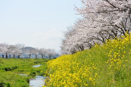 Photo for Rows of cherry trees and rape blossoms - Royalty Free Image
