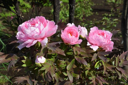 Photo for Tree Peony flowers - Royalty Free Image