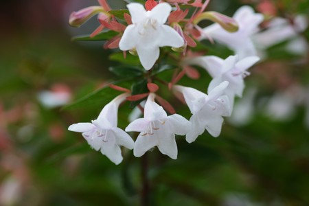 Photo for Glossy abelia flowers - Royalty Free Image