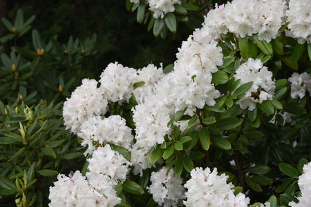 Photo pour Rhododendron white blossoms - image libre de droit