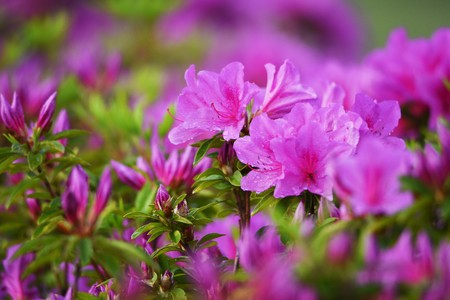 Photo pour Azalea flowers - image libre de droit