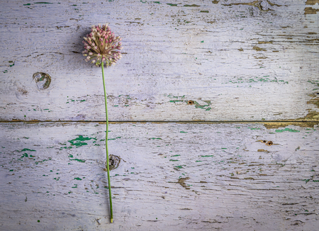 Photo pour Lonely field flower lying on a table with weathered cracked paint coating, topview, copyspace - image libre de droit