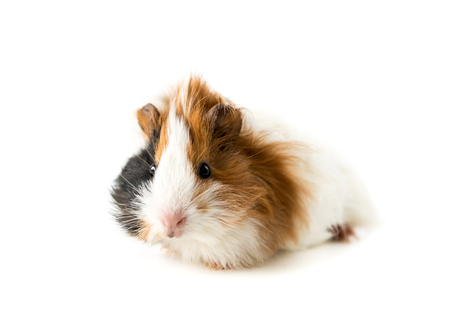 Photo for Guinea pig isolated on white background - Royalty Free Image