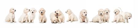 Foto de Serial of golden retriever puppies isolated - Imagen libre de derechos