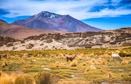 Photo for Sunshine field with lamas in Bolivia - Royalty Free Image