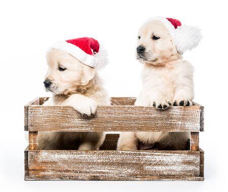 Foto de Four golden retriever puppies in basket isolated - Imagen libre de derechos
