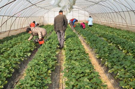 Foto de SHANGHAI CHINA - JAN 15, 2018: Visitor pick strawberry with red basket in the greenhouse strawberry farm - Imagen libre de derechos