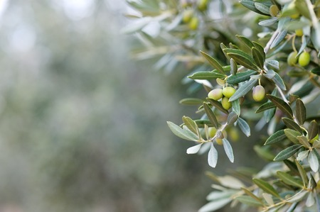 Photo for Branch and leaves of an olive tree - Royalty Free Image
