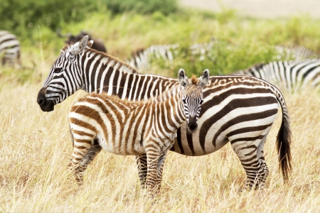 Photo for Zebra foal with mother on the Masai Mara in southwestern Kenya. - Royalty Free Image