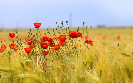 Photo pour Photo of beautiful poppies blossoming in a meadow - image libre de droit