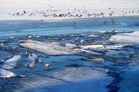 Foto de Photo of a spring flock of crows on the ice floes of a river lit by the sun - Imagen libre de derechos