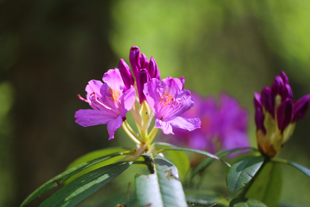 Photo pour Photo of a lovely lilac rhododendron flower in the spring in the park - image libre de droit