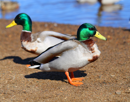 Photo for Macro photo of a big birds duck - Royalty Free Image
