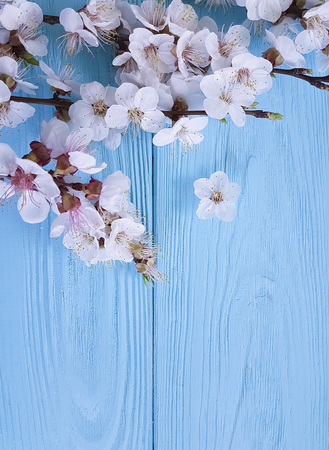 Photo pour branch of blossoming cherry, on a blue wooden background, spring - image libre de droit