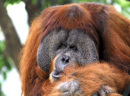 Indonesia; sumatra; orang utan; an enormous animal from the tropical and ecuator jungles