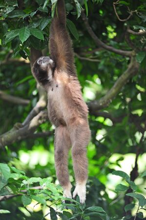 The gibbon or lesser apes is a mammal primate from the hylobafidae family