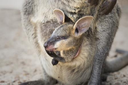 Foto de A cute Swamp Wallaby joey still in the pouch. - Imagen libre de derechos