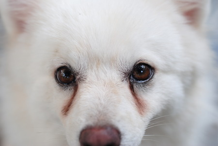 Photo pour White puppy with tear stains on its eyes - image libre de droit