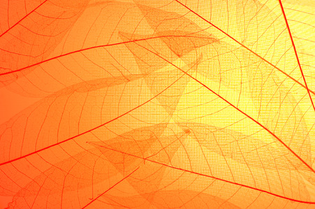 Photo pour Red and yellow skeleton leaves  abstract background - image libre de droit