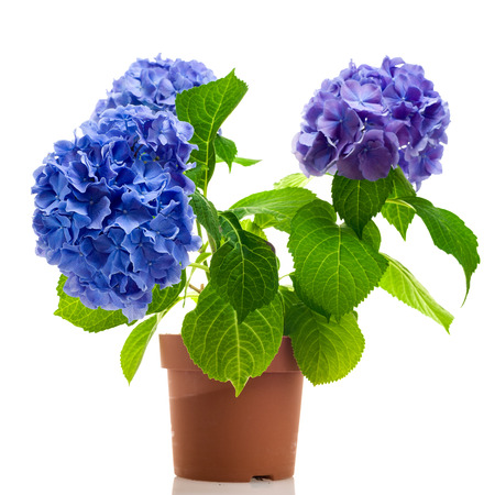 Photo for Blue and purple hydrangea in the pot isolated on white background - Royalty Free Image