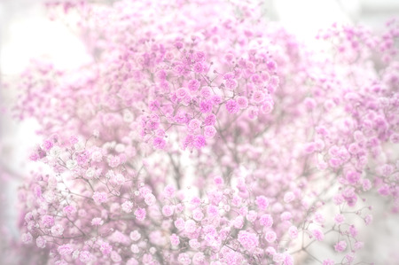 Foto für Close-up of dry pink baby's breath flowers (Gypsophila paniculata); shot in shallow depth of field, with fog post-processing effect. - Lizenzfreies Bild