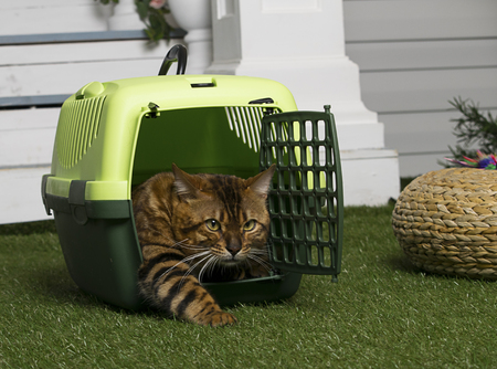 Foto de A cat of Bengali breed, comes out of the animals cage travel portable. - Imagen libre de derechos