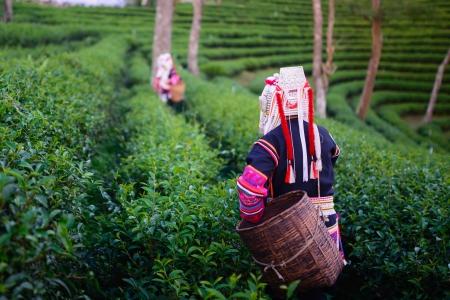 Photo pour hill tribe harvester tea farmer - image libre de droit