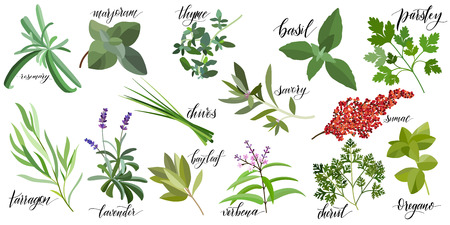 Illustration pour Set of popular culinary herbs with hand written names. Rosemary, majoram, thyme, basil, parsley, chives, savory, sumac, tarragon lavender bay leaf verbena chervil oregano - image libre de droit