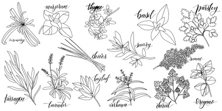 Illustration pour Set of popular culinary herbs with hand written names. Rosemary, majoram, thyme, basil, parsley, chives, savory, sumac, tarragon lavender bay leaf verbena chervil oregano - image libre de droit