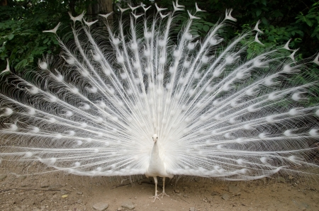 Photo pour White peacock with feathers out - image libre de droit