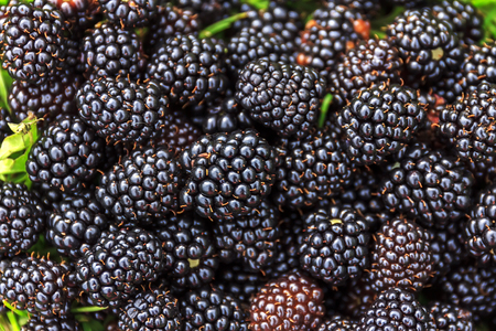 Photo for ripe and unripe blackberries on the bush with selective focus. Bunch of blackberries. - Royalty Free Image