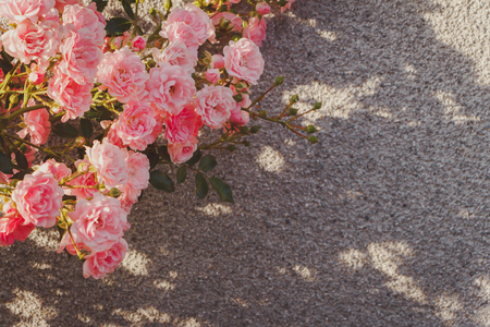 Photo for Pink Damask rose bush closeup on grey wall background. Small bush roses. The evening light beautifully illuminates. Cool tint for a social network. - Royalty Free Image