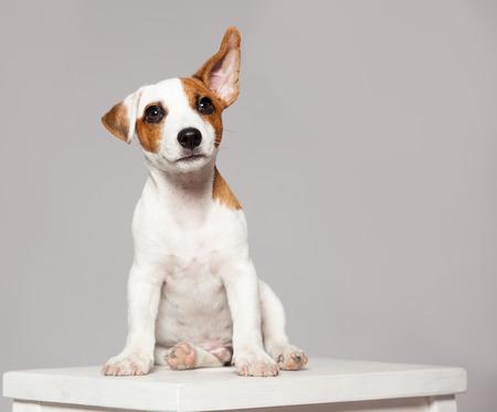 Foto de Puppy listening with raised ear. dog eavesdropping - Imagen libre de derechos