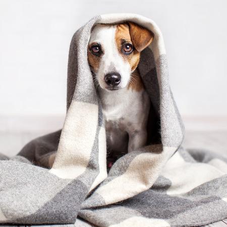 Photo pour Dog under a plaid. Pet warms under a blanket in cold autumn weather - image libre de droit