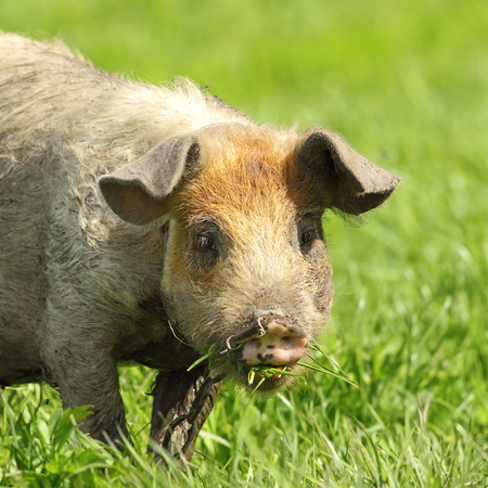 cute dirty pig portrait, image of grazing animal near the bio farm