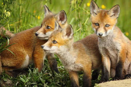 Foto de european red fox brothers standing together near the den ( Vulpes ) - Imagen libre de derechos